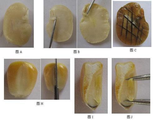 修改后观察玉米种子的形态和结构的